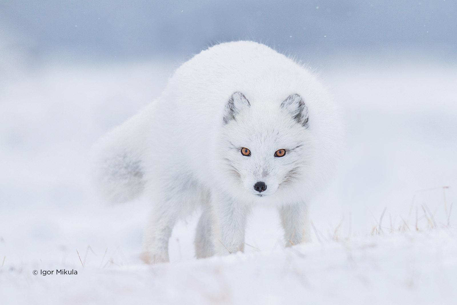 czech nature photo nominace savci – igor mikula